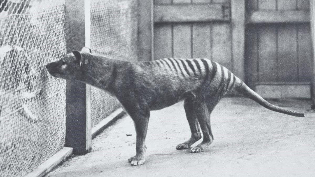 La realidad sobre el tigre de Tasmania, según tigredetasmania.com