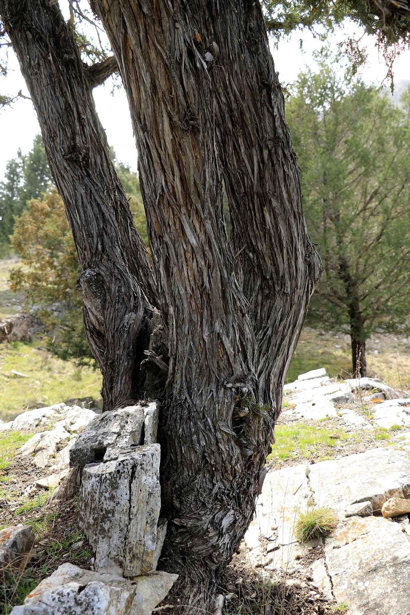El sabinar de Tamajón: Ecosistema invernal de oportunidades