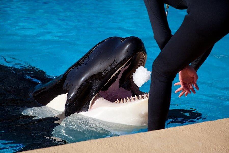 Loro Parque participa en un estudio que evalúa la relación entre personalidad y bienestar en orcas