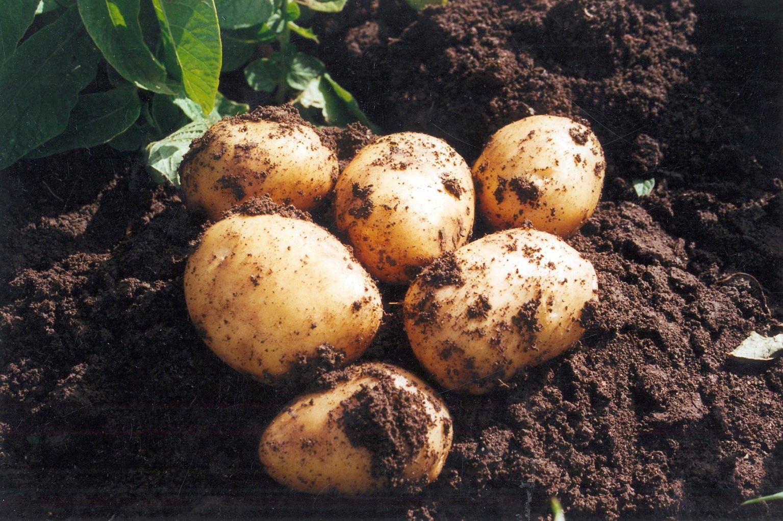 Comienza la recolección de Patata Nueva en Andalucía, de buena calidad y volumen similar a años anteriores
