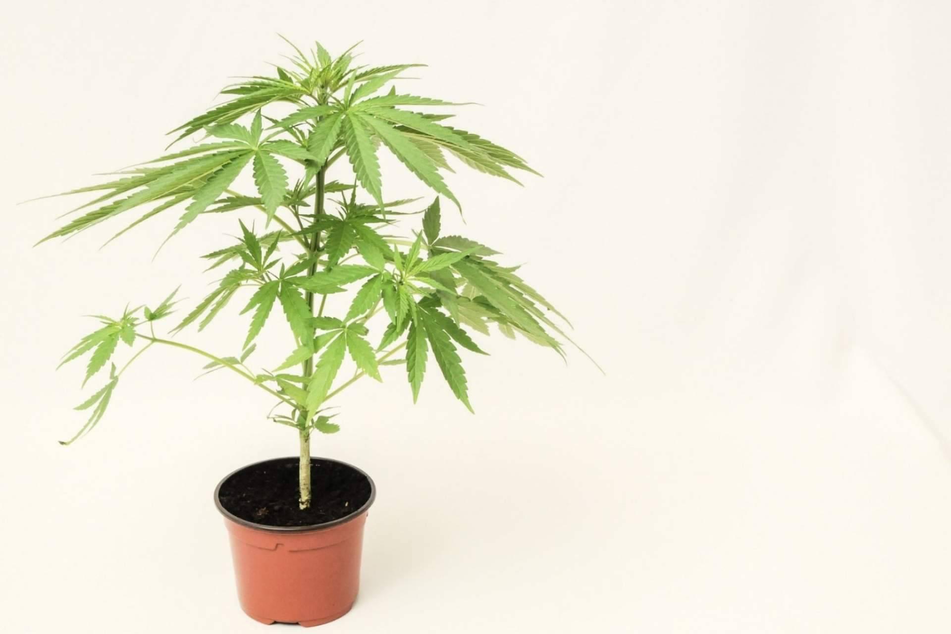 De Pata Verde: ¿Qué son las flores de CBD o cannabidiol?