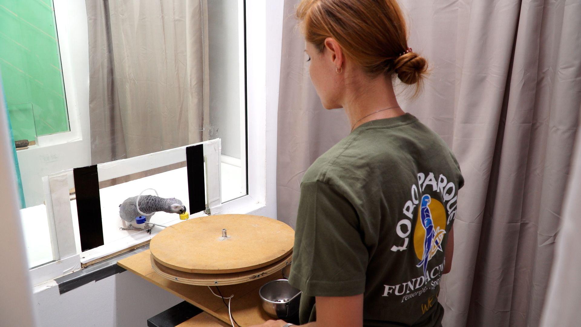 Loro Parque Fundación contribuye en un importante hallazgo: los loros tienen capacidad de autocontrol