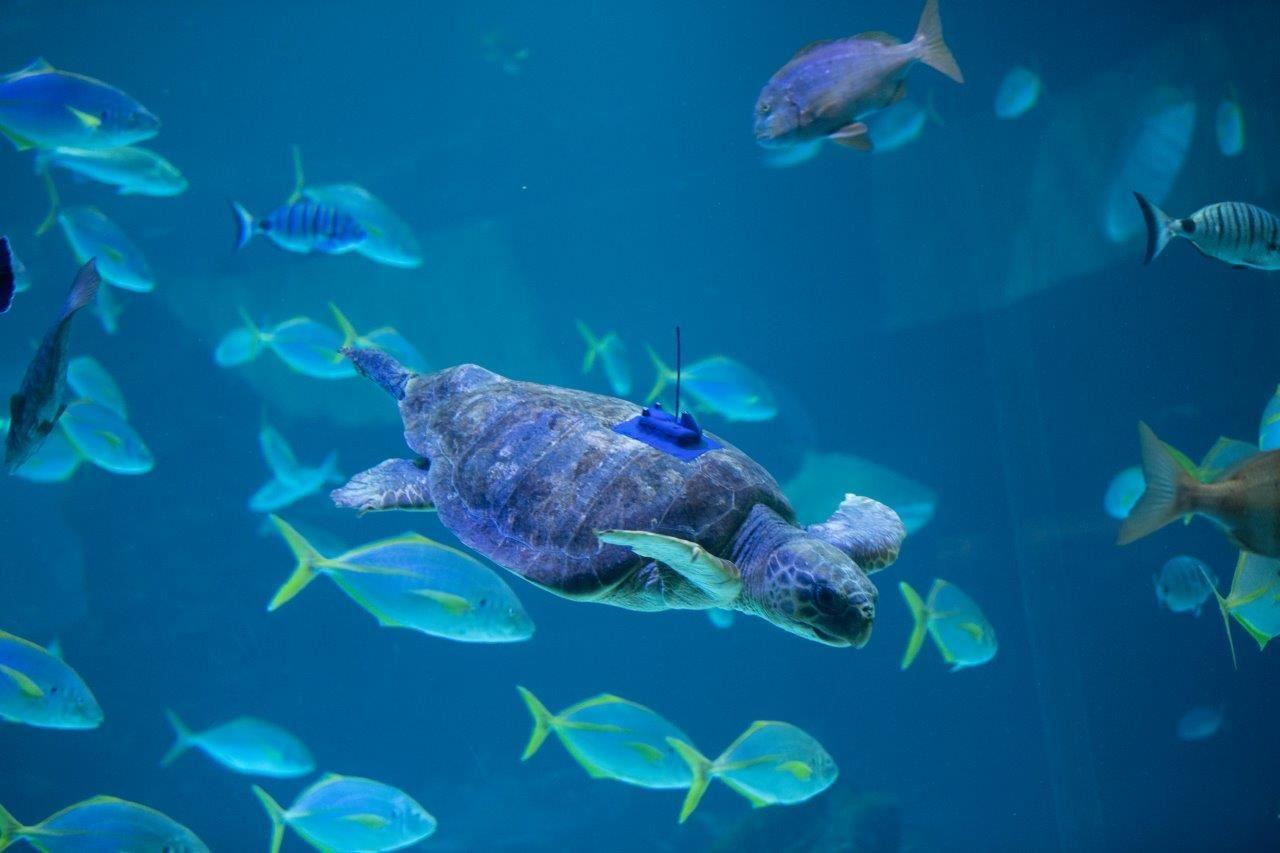 Poema del Mar devuelve al océano a una tortuga encontrada en estado crítico